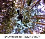 A Black And White Ruffed Lemur...