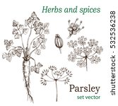 parsley. the leaves  roots ... | Shutterstock .eps vector #532536238