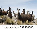 llamas around the bolivian... | Shutterstock . vector #532538869