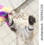 Stock photo cat playing with a feather brown siberian breed 532541110