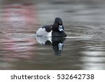 Small photo of Front view of natural ring-billed duck (Aythya collaris, Marila collaris, Nyroca collaris)