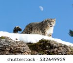 Snow Leopard Looking Over Snow...