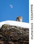Snow Leopard Peaking Over Snow...