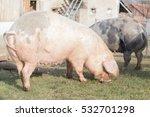 Group Of Large Swine Eating...