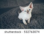 Stock photo beautiful devon rex point tabby little kitten is sitting on a soft blanket cat is feeling relaxed 532763074