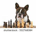 a cute boston terrier looking... | Shutterstock . vector #532768384