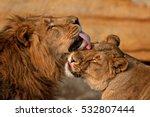 Stock photo lion panthera leo 532807444