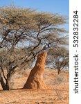 Termite Mound Under An Acacia...