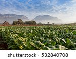 Tobacco Plantation With Deep...