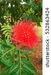 red fluffy bush willow flower...   Shutterstock . vector #532863424