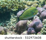 Small photo of Acanthurus lineatus, the lined surgeonfish, Much of the body has black-edged blue and yellow stripes, and the top of the head is striped with yellow. The belly is grayish.