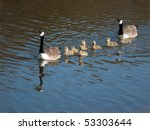 Canada Goose With Several Youn...