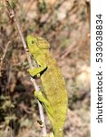Small photo of Petter's Chameleon, Furcifer Petteri is relatively abundant in the coastal areas of northern Madagascar