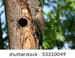 Northern Flicker Male Yellow...