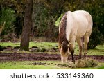 Small photo of Front view of a male buckskin American saddle horse eating grass in a field in Northern California