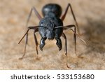 A Big Black Ant With Giant...