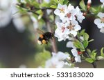 Thick Shaggy Bumblebee Flying...