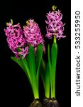 close up of pink pearl hyacinth ... | Shutterstock . vector #533255950