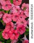 pink rose flowers of petunia ... | Shutterstock . vector #533335414