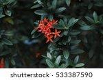 Close Up Beautiful Red Ixora ...