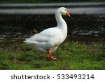 Beautiful White Goose In A Lake