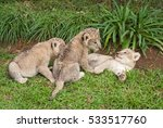 Three Lion Babies Playing In A...