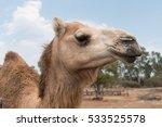 Portrait Of A Camel  Up Close...