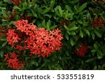 red ixora | Shutterstock . vector #533551819