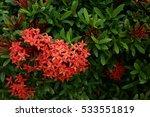 red ixora | Shutterstock . vector #533551819