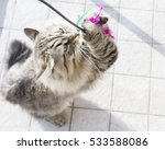 Stock photo siberian breed of cat playing with a feather 533588086
