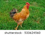 A Rooster Walks On The Grass