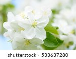 White Apple Flowers. Beautiful...