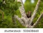 cute wild coati on a tree | Shutterstock . vector #533638660