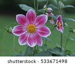 Dahlia 'hemera' Close Up In A...