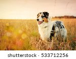 Stock photo australian shepherd puppy on a meadow months 533712256