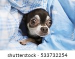 Frightened Chihuahua