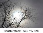 Birds In Bare Tree Silhouetted...