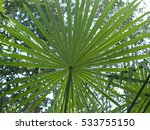 trachycarpus fortunes leaf in... | Shutterstock . vector #533755150