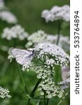 Small photo of Butterfly cabbage (Pieris brassicae) on a white flower of a goutweed ( Aegopodium podagraria) on a motley green vegetable background vertically. Macro. Pieridae Family.