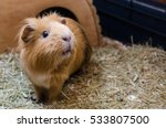 Portrait of cute red guinea pig. Close up photo.
