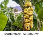 banana tree with a bunch of... | Shutterstock . vector #533882299