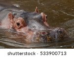 Portrait Of A Hippopotamus...