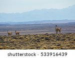 guanacos in the pampa ... | Shutterstock . vector #533916439