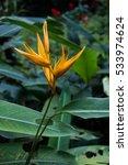 yellow strelitzia   bird of... | Shutterstock . vector #533974624