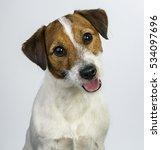 Jack Russell Terrier Portrait ...