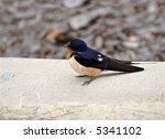 juvenile barn swallow on a... | Shutterstock . vector #5341102