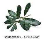 Green Macadamia Leaves Isolate...