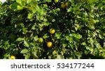 organic lemon tree on a bio...   Shutterstock . vector #534177244