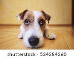 Stock photo sad dog lying on floor at home cute pet looking at camera 534284260