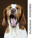 Mixed Basset Hound Yawning In...